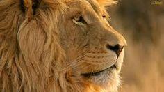 fotos de leoes deitados - Pesquisa Google
