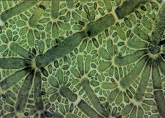 "magnified-world: "" Green algae mounted on sugar at magnification. place in the 1989 Nikon Small World Competition. Ernst Haeckel, Patterns In Nature, Textures Patterns, Nikon Small World, Microscopic Photography, Microscopic Images, Green Algae, Macro And Micro, Botanical Illustration"