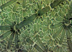 Green algae, Anadyomere stellatai, mounted on sugar (60x)