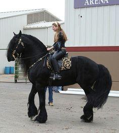Fresian horse - very large animals. Beautiful.