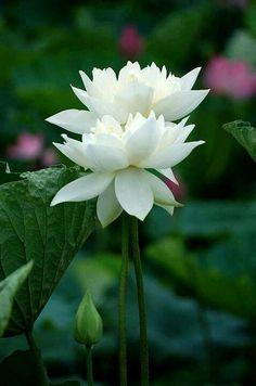 A imagem da flor de lótus simboliza elevação e expansão espiritual.