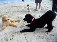 Poodle beach play
