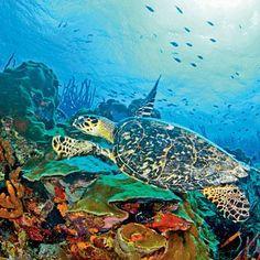 Sea turtle, Buck Island, St. Croix, USVI; coastalliving.com