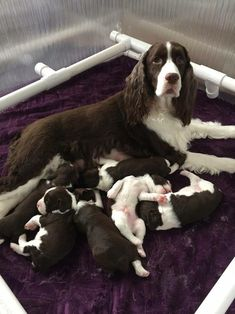 """Acquire great pointers on """"spaniel puppies"""". They are readily available for you on our website. Springer Spaniel Puppies, Boykin Spaniel, Spaniel Breeds, English Springer Spaniel, Spaniels, Baby Puppies, Cute Puppies, Cute Dogs, Dogs And Puppies"""