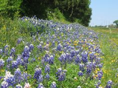 Bluebonnets and Black Eyed Susan