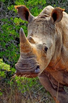 South African rhino, amazing!