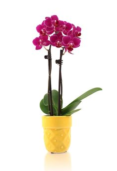 The vibrant color of this mini orchid is amazing! Enter our Pin to Win contest for your chance to receive free #JustAddIceOrchids for a year! Register here: www.facebook.com/justaddiceorchids