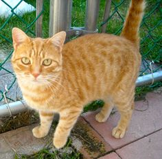 Missy is an adoptable Tiger Cat in Spring Lake, NJ. Missy is a two year old, gorgeous, petite, orange tiger. Missy is a precious, sweet little girl who has lots of love to give. This charming feline...