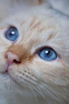 Joli petit chat....avec de très beaux yeux bleus.