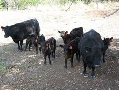 Understanding Cattle Behaviour on Small Farms Dexter Cattle, Hay Feeder, Living Off The Land, Homesteads, Small Farm, Small Breed, Livestock, Farm Life, Dexter