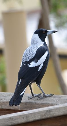 The magpie is considered one of the most intelligent animals in the world and one of the only birds that can recognize itself in a mirror. Pretty Birds, Beautiful Birds, Animals Beautiful, Exotic Birds, Colorful Birds, Animals Amazing, Cute Animals, Wild Animals, Bird Facts