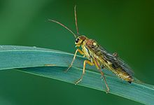 """Tenthredinidae(common sawflies) order Hymenoptera -are often black or brown, and from 3-20 mm long. Like other sawflies, they lack the slender """"wasp-waist"""", or petiole, between the thorax and abdomen, characteristic of many hymenopterans ."""