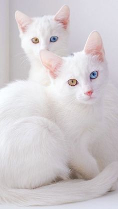 These Twin Cats Are Identical In Every Way; They're Also The Most Beautiful Cats In The World! Cute Cats And Kittens, I Love Cats, Crazy Cats, Cool Cats, Kittens Cutest, Ragdoll Kittens, Tabby Cats, Bengal Cats, Pretty Cats