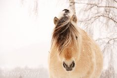 Although the Norwegian Fjord is the size of a pony, it's considered a horse. Also, their beautiful colors hearken back to the earliest primitive horses. the cute Norwegian fjord horse