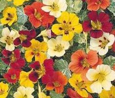 NASTURTIUM JEWELS MIX Tropaeolum Majus  25 Flower Seeds *** Learn more by visiting the gardening image link.