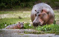 Los #hipopotamos a la ribera de un rió africano ...