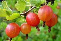 Крыжовник очень хорош на садовом участке: особого ухода не требует, зимует без потерь, а какие ягоды вкусные и богатые витаминами даёт! И ведь это ещё и варенье, и джемы, и компоты, и много разных п…