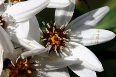 Disk floret: One of the central, regular flowers in flower heads of Asteraceae