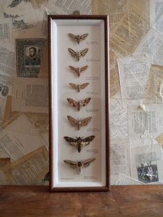 Collection of hawk moths.