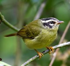 Birds of the World: Three-striped warbler