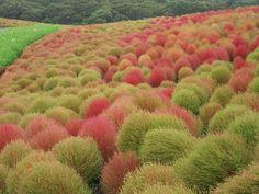 Hitachi Seaside Park, опустошенный цунами в 2011 году, сейчас восстановлен в былом великолепии. Парк небольшой, он охватывает всего лишь 3,5 га, но привлекает людей со всей Японии. В зависимости от сезона парк полон разными цветами   http://muz4in.net/  Оригинал записи и…