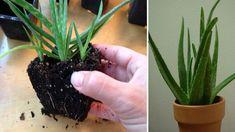 9 Plantes Qui Produisent de l'Oxygène Même PENDANT LA NUIT