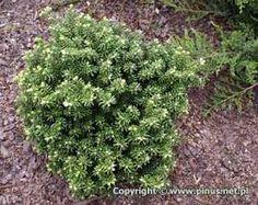 Znalezione obrazy dla zapytania miniaturowe drzewka ozdobne do ogrodu