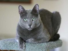 Oh i love russian blue cats so pretty and not psycho at all.