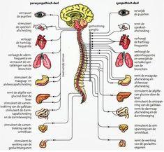 orthosympathisch en parasympathisch zenuwstelsel