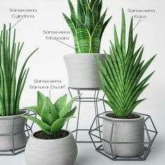 Succulents Garden, Garden Plants, Indoor Plants, Planting Flowers, Sansevieria Plant, Sansevieria Trifasciata, House Plants Decor, Plant Decor, Plantas Indoor