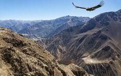 See a condor's graceful aerial acrobatics in the Colca Canyon, Peru. #Travel #Peru #Condor