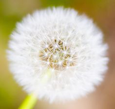 Dandelions...I remember these in Grams yard as a kid.  Good times.