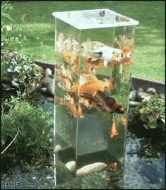 1000 images about goldfish koi and some fish on pinterest for Building a goldfish pond