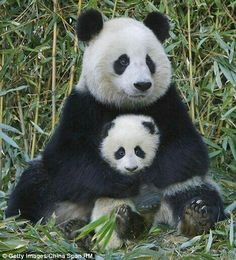 Great Panda mom and her cute baby cub. Too precious!