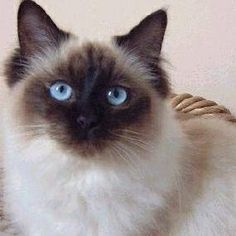 About Ragdoll Cats buy this cat!! best cat most freindly like a dog!