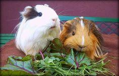 Polish guinea pigs.