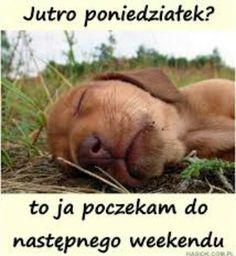 Nie lubie poniedziałkow... Weekend Humor, Lol, Funny, Motto, Animals, Polish, Disney, Fitness, Animales