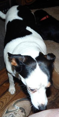 ANGEL is an adoptable Rat Terrier searching for a forever family near ANDERSON, SC. Use Petfinder to find adoptable pets in your area.