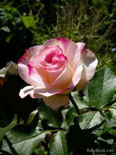 """Rose 'Charles Aznavour"""" - Gracieuses et romantiques ses fleurs rosées d'environ 20 pétales, largement ourlées de carmin, sont délicatement ciselées. Une plante à forte végétation. La Rose Charles Aznavour ® a obtenu la Médaille d'or à Bagatelle et Rose d'or à Courtrai. Diamètre fleur : environ 6 cm. Hauteur adulte de ce rosier : 60 à 70 cm."""