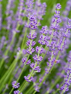 'Buena Vista' Lavender - Lavandula Angustifolia 'Buena Vista' is a special reblooming variety that bears lavender-purple flowers in late spring and again in fall. It grows 28 inches tall and 36 inches wide. Zones 5-8.