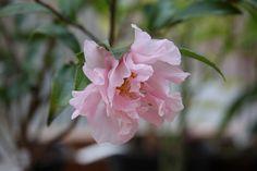 Camellia 'Paradise Petite'