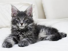 Maine Coon | Gorgeous blue Maine Coon
