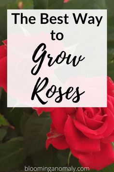 Learn to grow all kinds of roses in your garden, even if you are a beginner. Grow rose bushes in pots or in a specific part of your flower garden. Here is the best way to grow roses. #growroses #howtogrowroses #miniatureroses #climbingroses Beautiful Flowers Garden, Amazing Flowers, Gardening For Beginners, Gardening Tips, Floribunda Roses, Rose Care, Types Of Roses, Hybrid Tea Roses, Growing Roses