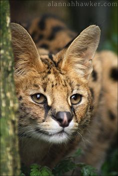 Serval 07 by ~Alannah-Hawker on deviantART