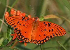 Gulf Fritillary Butterfly or Passion Butterfly