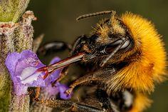 Feeding Common Carder Bee by John Kimbler - Photo 163416991 - 500px