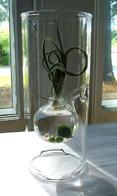 Sublime Marimo and Tillandsia Hand Blown Glass Terrarium by MyZen