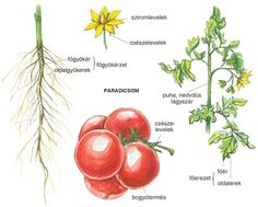 Nature Study, Nature Journal, Science, Teaching Ideas, Education, Vegetables, School, Natural History, Vegetable Recipes
