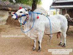 Ongole Gitta is called as Ongole Bull in English.