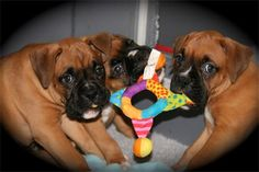 Boxers at Play : It's mine!